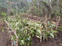 Ficus saplings waiting to be transplanted 500 elevation m above or below their natural range