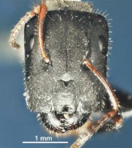 Camponotus wanangus, an example of a new species of carpenter ants, described from Wanang in 2014