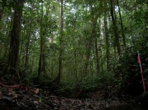 Pristine forest in Wanang.
