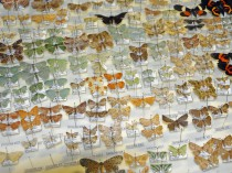 Moths reared from caterpillars feeding on Wanang rainforest trees.