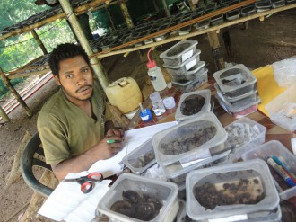 Ruma Umari rearing insects from rainforest fruits.